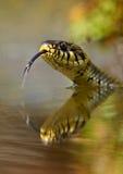 Natrix do Natrix da serpente de grama fotos de stock royalty free