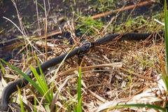 Natrix do Natrix da serpente de grama dois que luta por peixes travados Foto de Stock