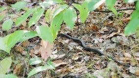 Natrix europeo del Natrix del serpente di erba che si muove tramite le foglie della foresta archivi video