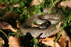 Natrix ist eine Klasse von colubrid Schlangen, von Grasschlangen oder von Wasserschlangen stockfotografie