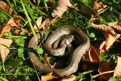 Natrix jest genus colubrid węże, trawa węże lub wodni węże, zdjęcie stock