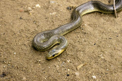 Natrix Maura snake Stock Photography