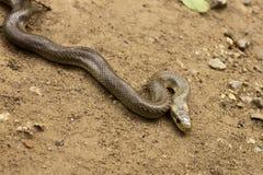 Natrix Maura snake Stock Image