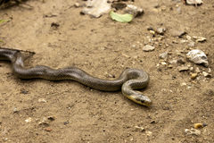 Natrix Maura snake. Natrix Maura on the ground. Natricine water snake of the genus of colubrid snakes Natrix Stock Photos