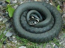 Змейка травы (natrix Natrix) Стоковые Изображения