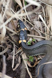 Natrix natrix, Grass Snake Stock Photos