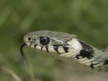 Natrix natrix - Grass snake - Royalty Free Stock Photography