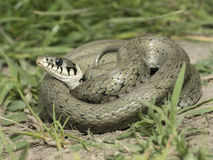 Natrix natrix - Grass snake - Stock Images