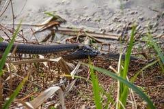 Natrix Natrix Schlange des Grases zwei, der für gefangene Fische kämpft Stockfotos