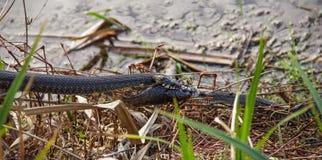 Natrix Natrix Schlange des Grases zwei, der für gefangene Fische kämpft Lizenzfreies Stockbild