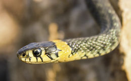 Natrix. Snake on a rock. Natrix. Portrait of a snake crawling on a stone, close up Stock Photo