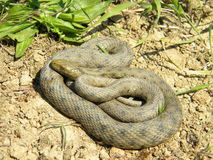 Natrix tessellata - Dice snake - Royalty Free Stock Images