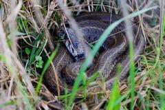 Natrix tessellata Dice. The Snake Natrix tessellata Dice royalty free stock photos
