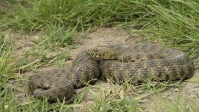 Natrix tessellata - Dice snake -. Dice snake, Natrix tessellata, general body view stock image