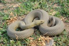 Natrix tessellata. Dice snake (Natrix tessellata) in its natural habitat stock images