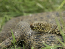 Natrix tessellata - Dice snake - Stock Photography