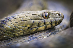 Natrix tessellata Stock Photography