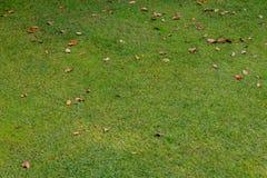 Natrual绿色草坪,有干燥叶子的 免版税库存图片