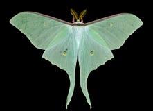 natt för fjäril för 17 actiasartemis Royaltyfria Bilder