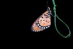 Natt som skjutas av en fjäril Arkivbilder