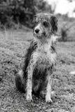 Natte binnenlandse hond Stock Afbeeldingen
