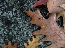 Natte bladeren op Rots Royalty-vrije Stock Fotografie