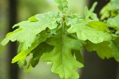 Natte bladeren van een eik Stock Afbeelding