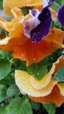 Natte bloemen Regendruppels op viooltje Royalty-vrije Stock Fotografie