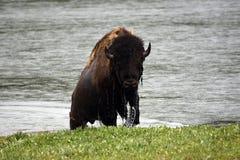 Natte buffels Royalty-vrije Stock Foto's