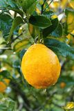 Natte citrusboom Royalty-vrije Stock Foto