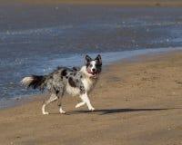 Natte Collie die van overzees op strand lopen stock foto's