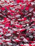 Natte donkerrode bladeren Royalty-vrije Stock Foto