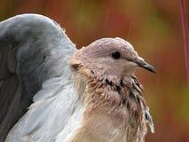 Natte duif Royalty-vrije Stock Fotografie