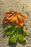 Natte esdoornbladeren royalty-vrije stock foto