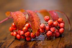Natte fruit en bladeren van een lijsterbes (lijsterbes) stock afbeelding