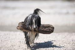 Natte Gebaarde Colliehond die trots een grote stok van een water dragen Royalty-vrije Stock Afbeelding