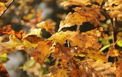 Natte gele bladeren van eiken boom Royalty-vrije Stock Afbeelding