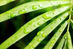 Natte Groene Palmbladen Stock Afbeelding