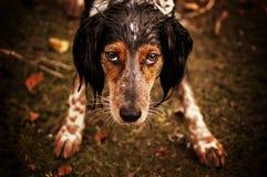 Natte hond Royalty-vrije Stock Foto's