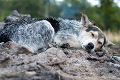 Natte hond Royalty-vrije Stock Afbeelding