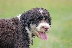 Natte hond Stock Foto's