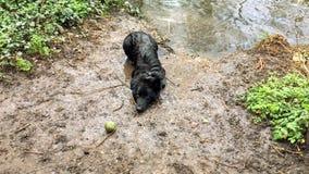 Natte hond die een spel van haal spelen en tijdens een gang in het hout zwemmen stock foto
