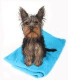 Natte hond na bad Royalty-vrije Stock Afbeelding