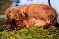 Natte jachthond royalty-vrije stock foto's