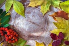 Natte kleurrijke bladeren en lijsterbessenbessen op een gesneden cirkelzaag larc Royalty-vrije Stock Afbeelding