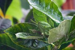 Natte knop van Gardenia Royalty-vrije Stock Foto
