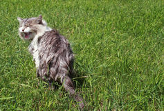 Natte kwade kat in het groene gras Stock Afbeeldingen