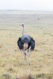 Natte mannelijke struisvogel Royalty-vrije Stock Afbeeldingen