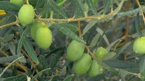 Natte olijfboom en motregen stock videobeelden