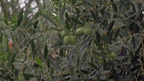 Natte olijfboom onder regen in tuin stock video